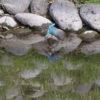 カワセミを求めて春の川辺へ